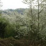 Wildkirschenblüte - April