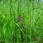 Purpurknabenkraut - Orchis purpurea
