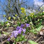 Veilchen und Schlüsselblumen - Mitte bis Ende März