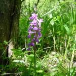 Manns-Knabenkraut - Orchis mascula, April
